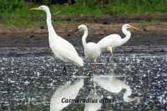 casmerodius-albus1