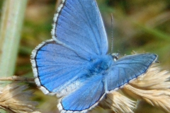 polyommatus-bellargus-reckavi-plavac11